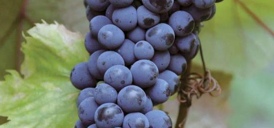 Описание винограда Московский безукрывной, особенности посадки и выращивания