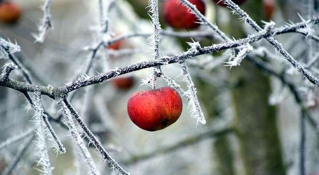 Яблоки на дереве зимой