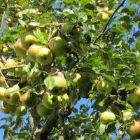 Как ухаживать за яблоней летом