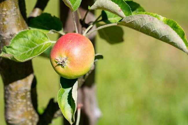 уход за яблоней летом