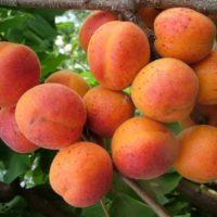 Описание сорта абрикоса Сын Краснощекого