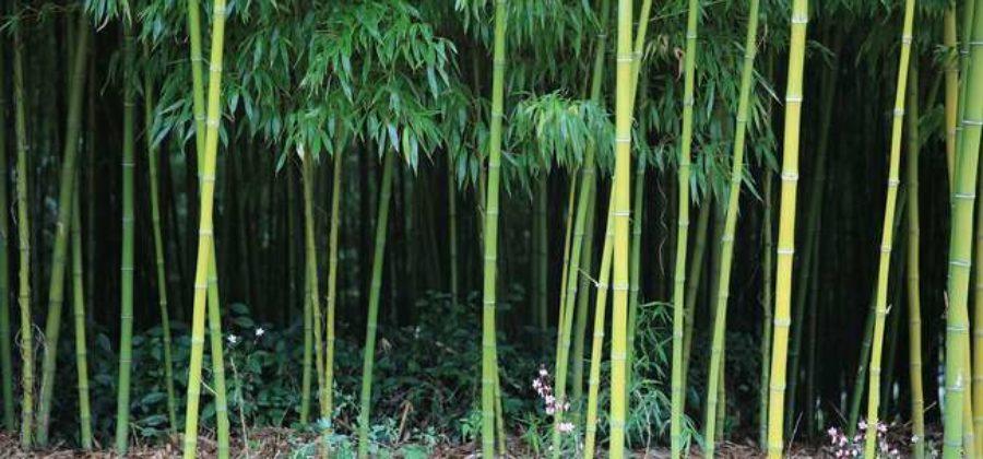 Как вырастить бамбук на даче: посадка и уход за растением
