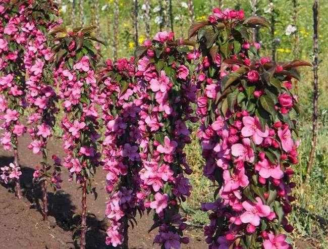 Цветение колоновидной яблони