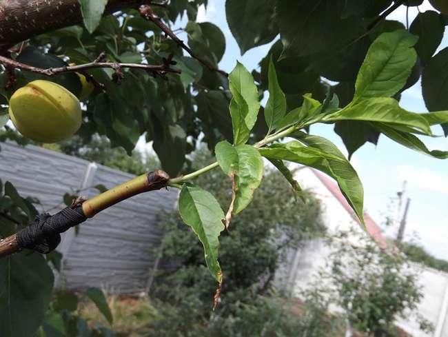 Как привить абрикос на абрикос, способы прививки абрикоса