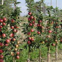 Когда лучше сажать колоновидные яблони и как правильно это сделать