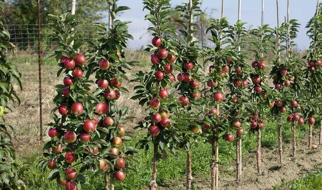Как сажать колоновидные яблони