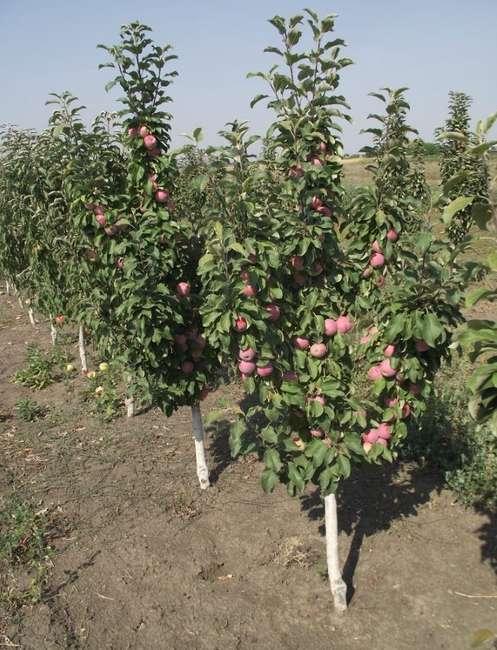 Когда плодоносит колоновидня яблоня
