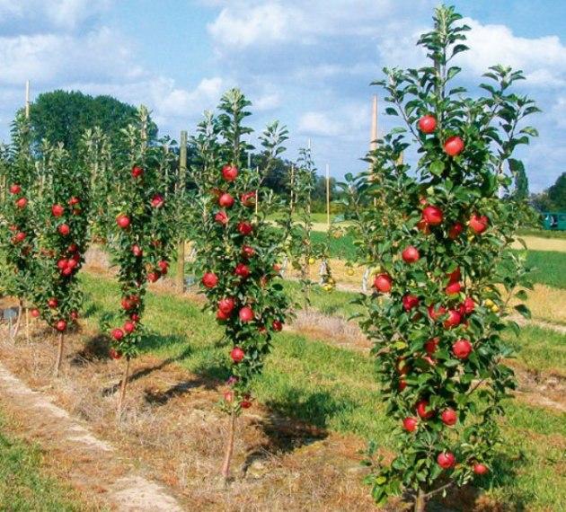Когда посадить колоновидную яблоню