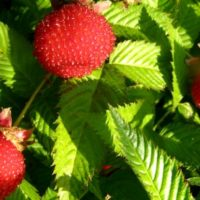 Малина-клубника: описание, фото, отзывы и правила выращивания