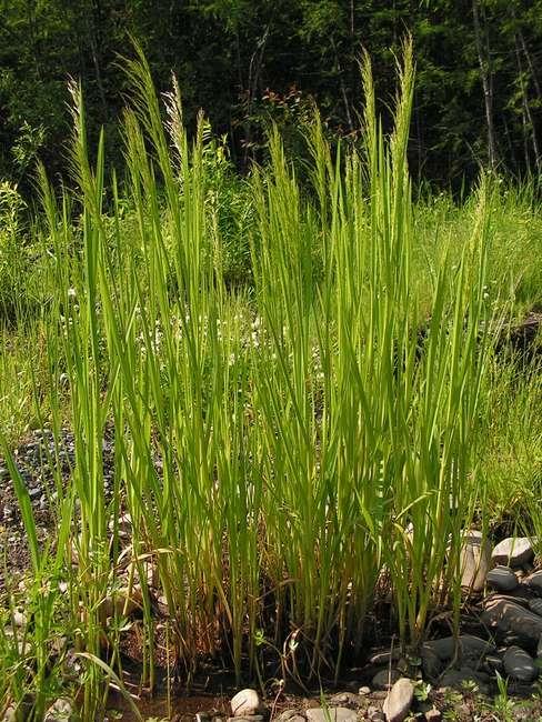 Растение для водоемов Манник литовский