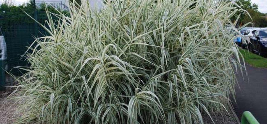 Манник: описание растения, виды, правила выращивания