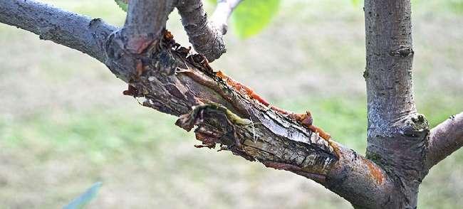 Обрезка больных веток на абрикосе