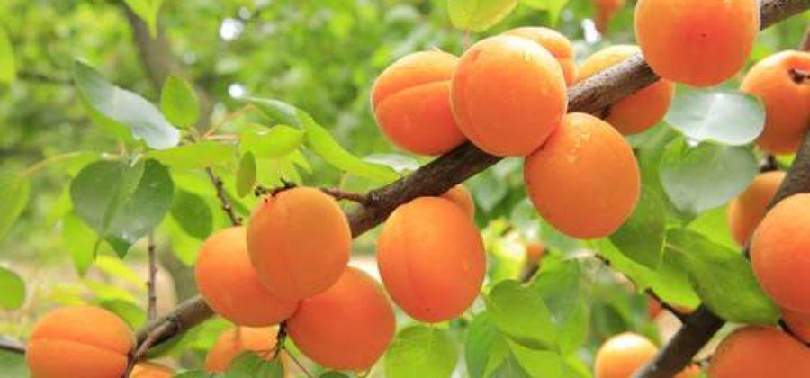 Как правильно обрезать абрикос и сформировать его крону