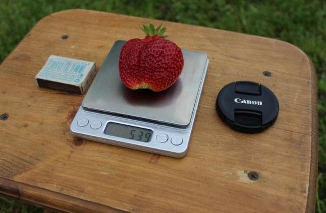 Описание ягод сорта Вима Занта