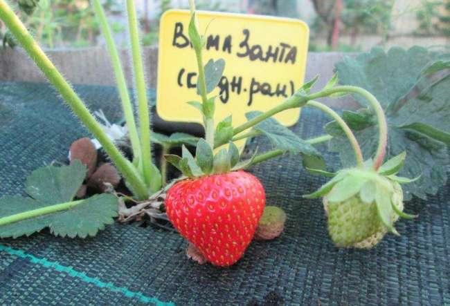 Отзывы садоводов о Вима Занта