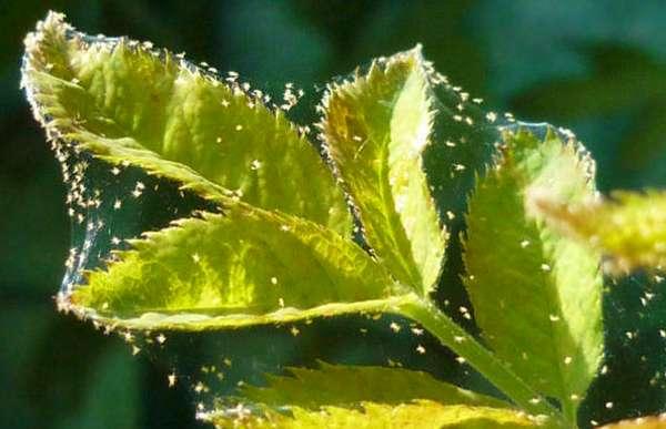 Паутинный клещ (малина скрещенная с клубникой)