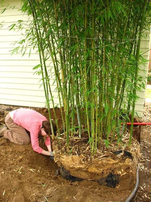 Пересадка бамбука