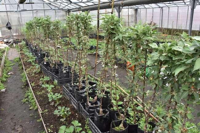 Плюсы посадки колоновидной яблони осенью