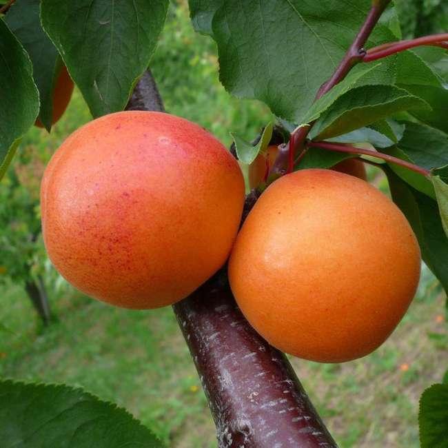 Плоды абрикоса сын краснощекого