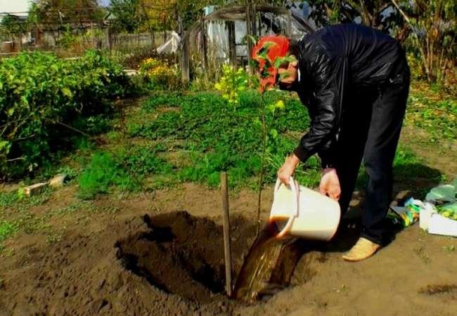 Подготовка посадочной ямы для яблони