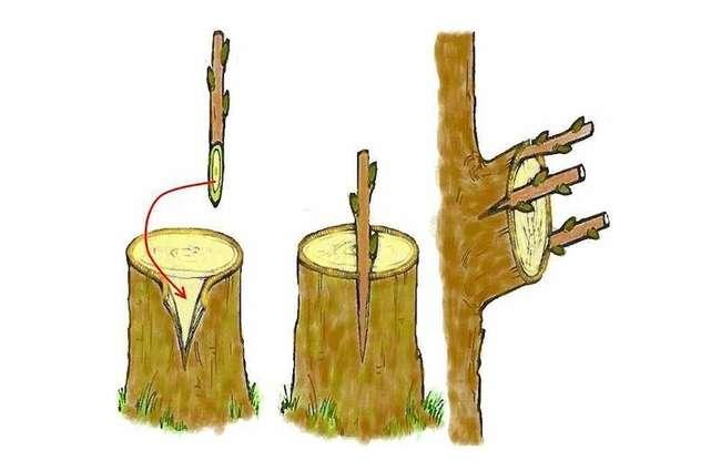 Как привить абрикос на абрикос за кору