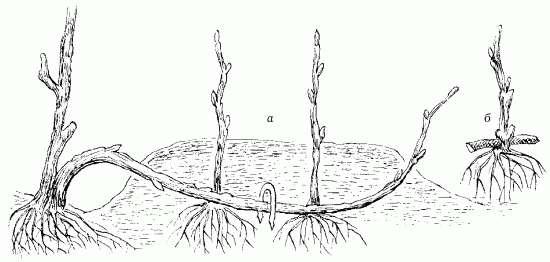 Размножение ремонтантной малины горизонтальными отводками