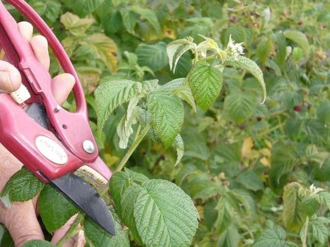 Как размножить ремонтантную малину зелеными черенками
