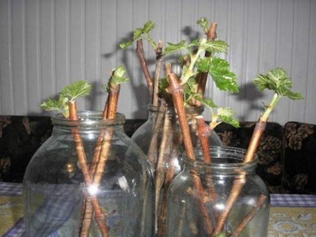 Разведение ремонтантной малины одревесневшими черенками