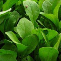 Руккола многолетняя или однолетняя культура – Сорта и правила выращивания зелени