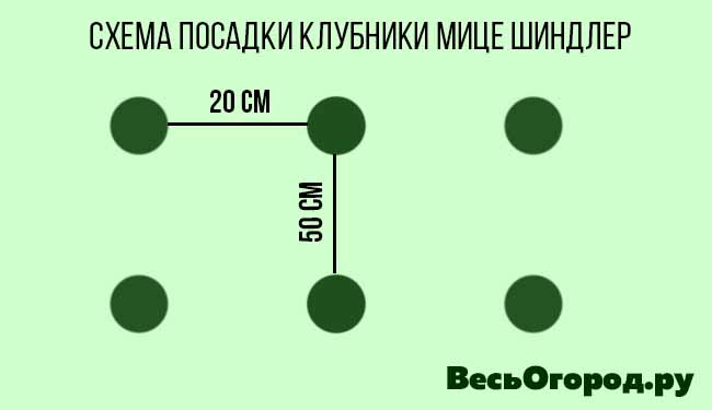 Схема посадки клубники Мице Шиндлер