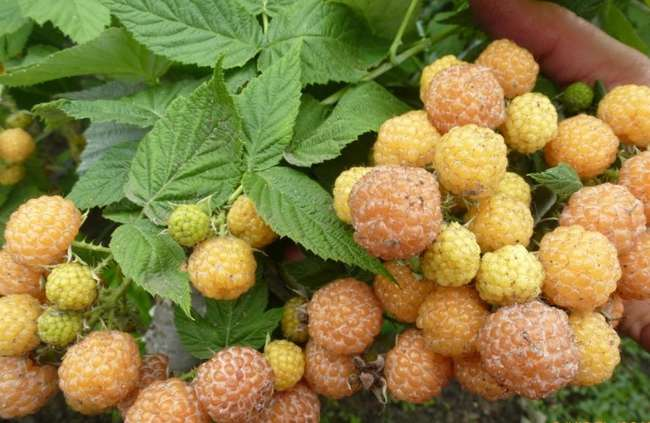 Сорт малины Желтый Кумберленд