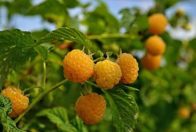 Сорт желтой малины Абрикосовая