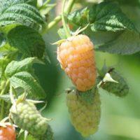 15 сортов желтоплодной малины с описанием и фото