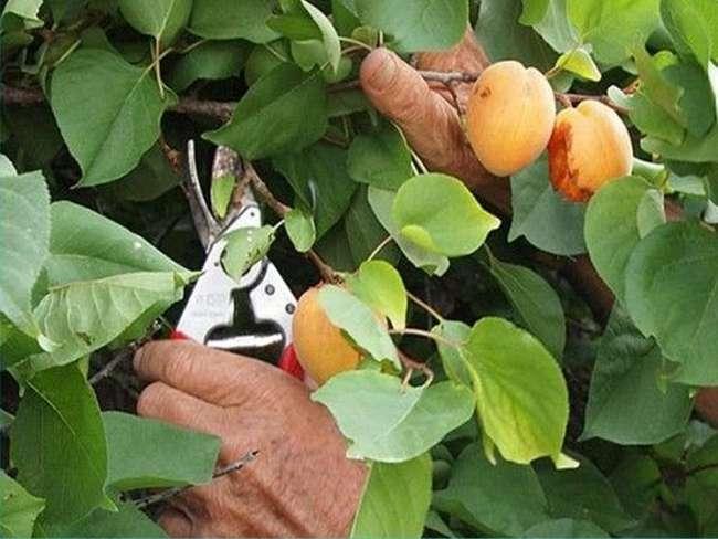 Сроки обрезки абрикоса