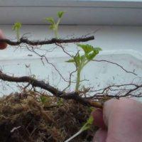 Как размножается ремонтантная малина
