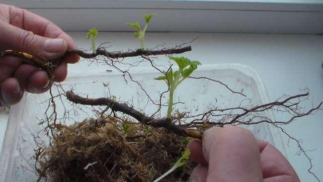 Ремонтантная малина посадка уход и размножение в открытом грунте