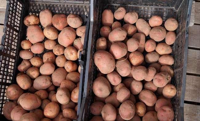 Холмогорский картофель