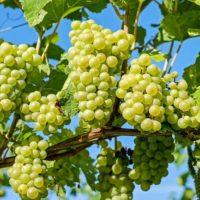 На что обратить внимание при выборе винограда для посадки