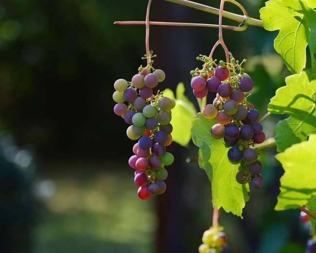 Как выбрать виноград для посадки по сроку созревания