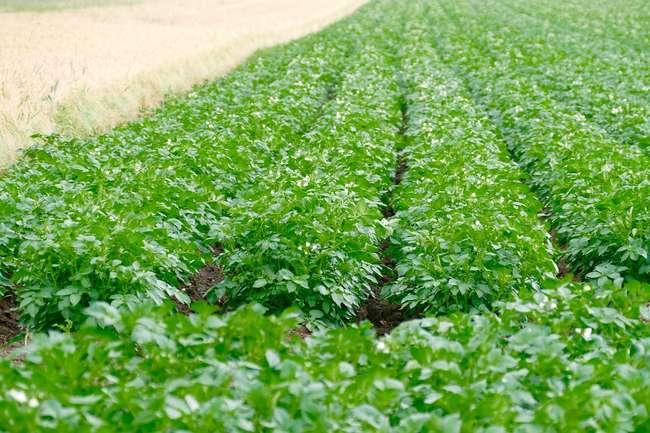 Как повысить урожайность картофеля Импала