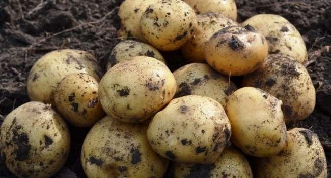 Описание ранних сортов картофеля – Ариель