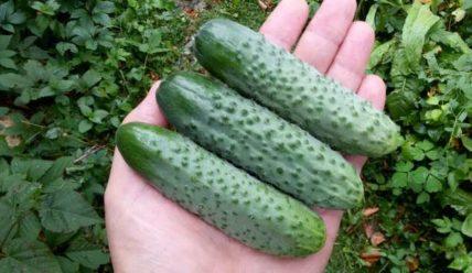 Выращивание огурцов Шоша F1, описание сорта и отзывы садоводов