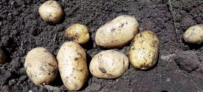 Описание картофеля импала