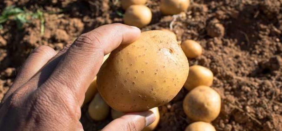 Описание ранних сортов картофеля — 20 сортов ранней картошки с фото