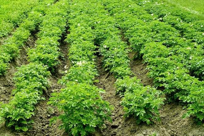 Особенности выращивания Импалы