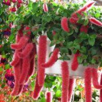 Виды Акалифы: описание с фото, как ухаживать за Акалифой и как размножать растение