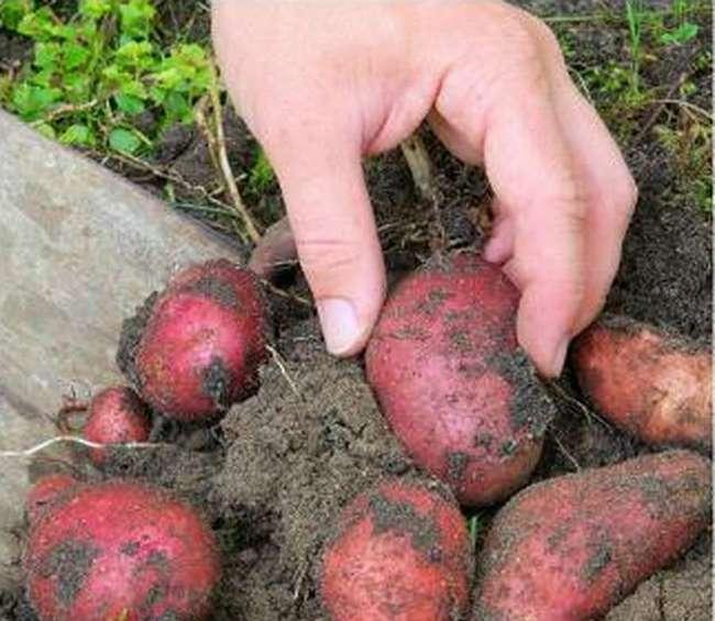 Сорт картофеля детскосельский