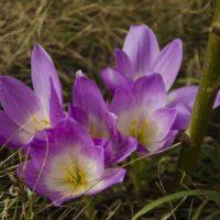 Безвременник виды и сорта, выращивание