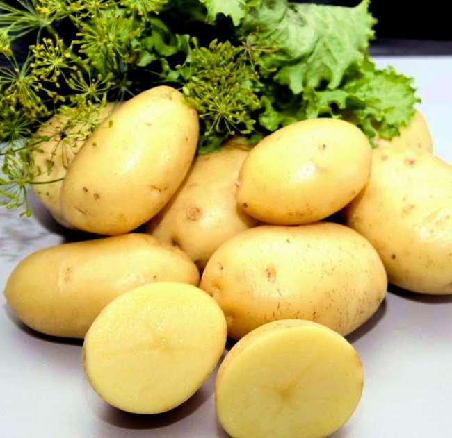 Ультраранняя картошка Импала