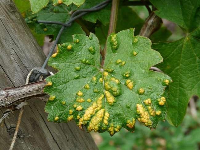 Устойчивость винограда к болезням